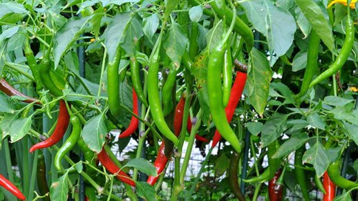 Capsicum and chilies